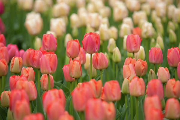 Photograph - Field Of Dutch Pink White Tulips by Jenny Rainbow