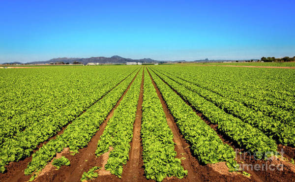 Wall Art - Photograph - Field Of Lettuce by Robert Bales