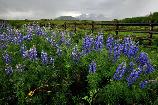 Photograph - Field Of Lupine Along San Juan Parkway by Ray Mathis