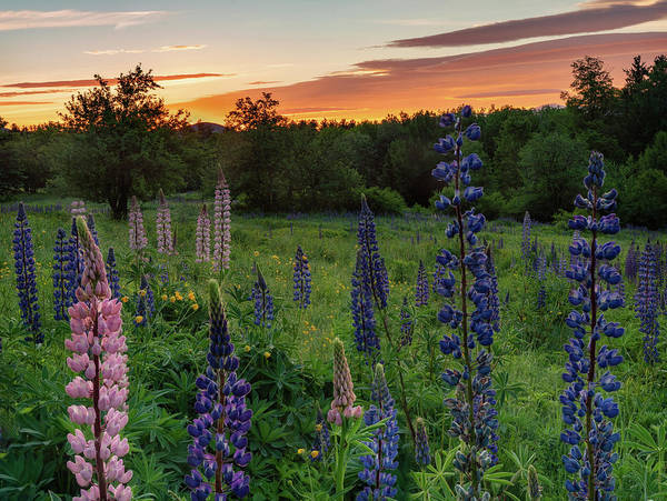 Photograph - Field Of Lupines At Sunrise by Darylann Leonard Photography