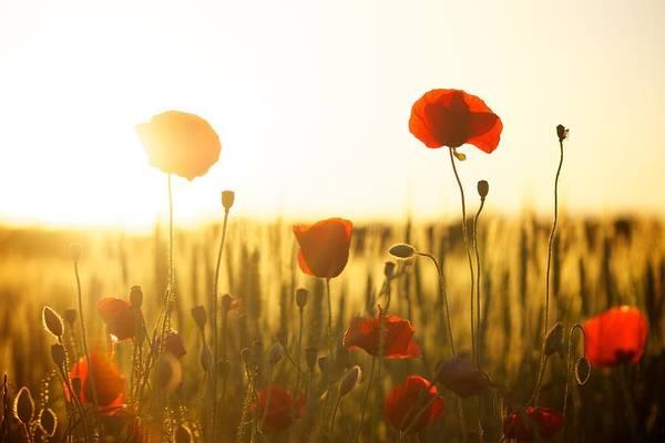 Field Of Poppies At Dawn Art Print