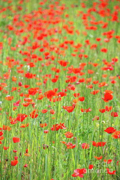 Wall Art - Photograph - Field Of Poppies by Delphimages Photo Creations