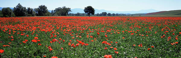 Wall Art - Photograph - Field Of Poppies In Spring, Near San by Lee Frost / Robertharding