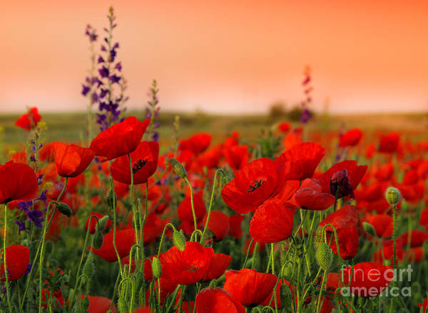 Herbal Wall Art - Photograph - Field Of Poppies On A Sunset by Zeljko Radojko