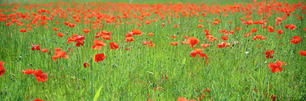 Wall Art - Photograph - Field Of Poppies, Panoramic View by Martial Colomb