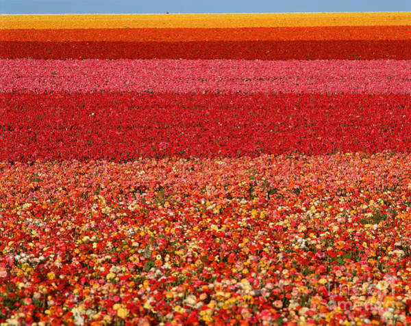 Wall Art - Photograph - Field Of Ranunculus Flowers At Carlsbad by Joseph Sohm