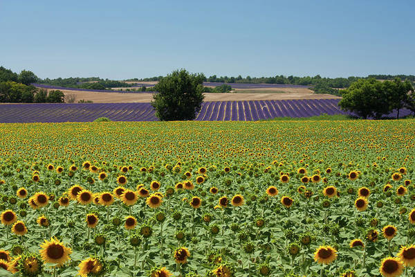 Outdoors Photograph - Field Of Sunflowers by Kepler13
