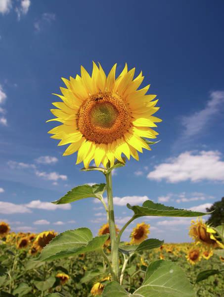 Sunflower Seeds Photograph - Field Of Sunflowers by Sandsun