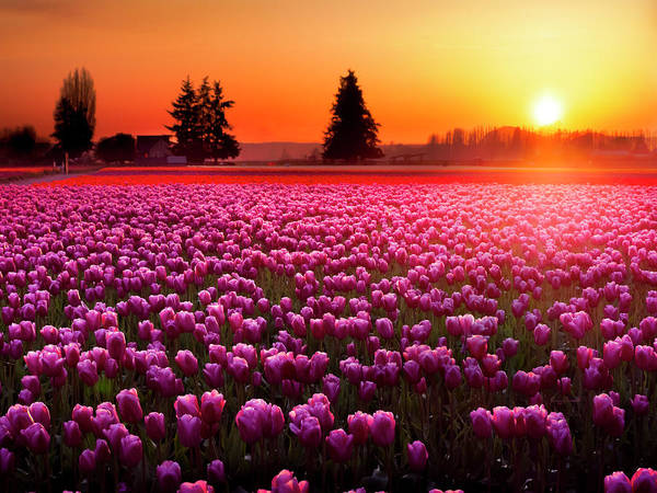 Photograph - Field Of Tulips At Sunset 2 by Penny Lisowski