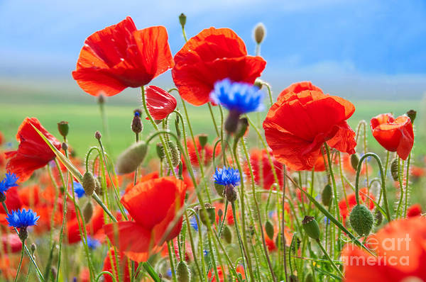 Wall Art - Photograph - Field Of Wild Poppies And Other Flowers by Maria Uspenskaya