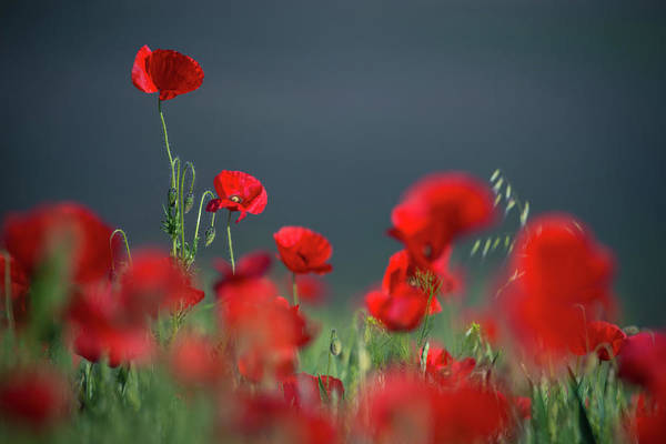 Photograph - Field Of Wild Red Poppies 1 by Vlad Sokolovsky