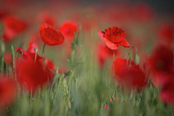 Photograph - Field Of Wild Red Poppies by Vlad Sokolovsky