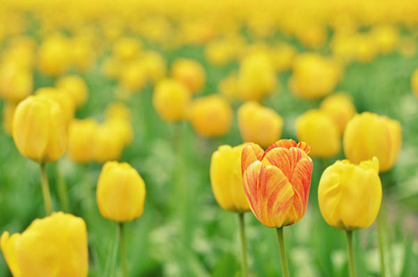 Out Of Focus Wall Art - Photograph - Field Of Yellow Tulips by Photo By Ira Heuvelman-dobrolyubova