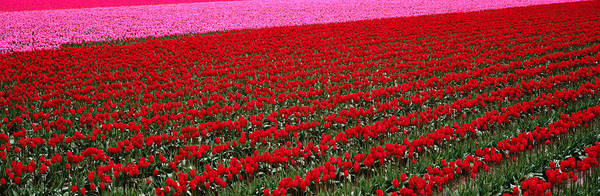 Wall Art - Photograph - Fields Of Red, Pink Tulips Liliaceae by Art Wolfe