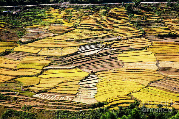 Photograph - Fields Of Rice by Scott Kemper