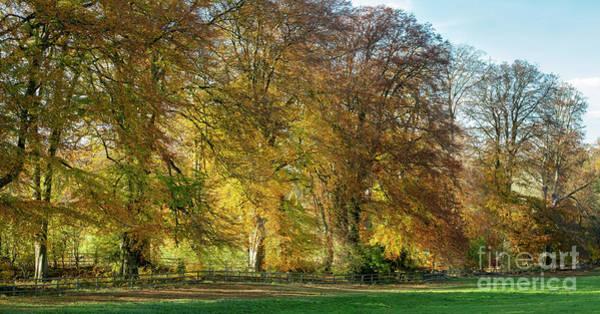 Late Autumn Wall Art - Photograph - Fiery Autumn Beech Trees by Tim Gainey