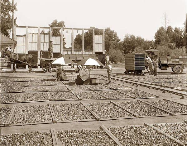 Photograph - Fig Drying Showing Drying Kilns, Fresno by California Views Archives Mr Pat Hathaway Archives