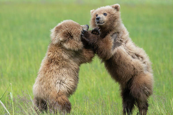 Photograph - Fighting Cubs 1 by Mark Hunter