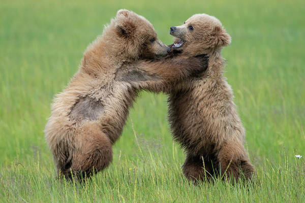 Photograph - Fighting Cubs 2 by Mark Hunter