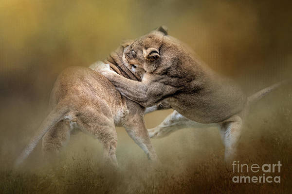 Photograph - Fighting Lioness by Ed Taylor
