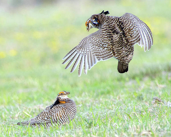 Photograph - Fighting Prairie-chickens by Judi Dressler