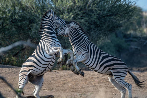Photograph - Fighting Stallions by Mark Hunter
