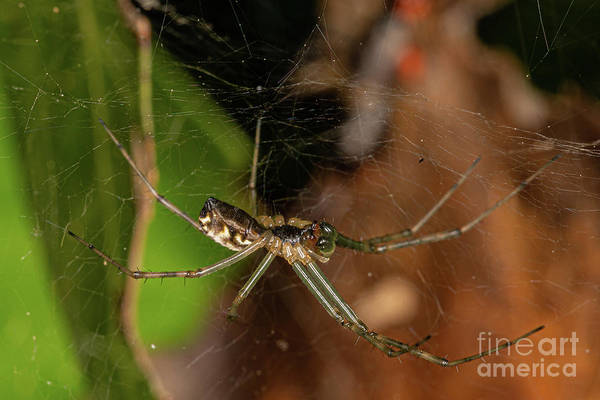 Photograph - Filmy Dome Spider by Brian Roscorla
