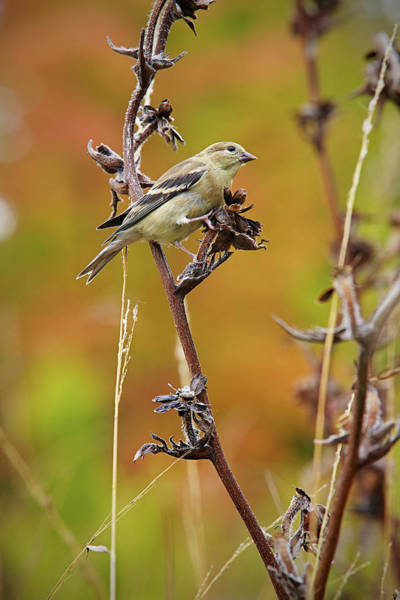 Photograph - Finch by Garden Gate magazine