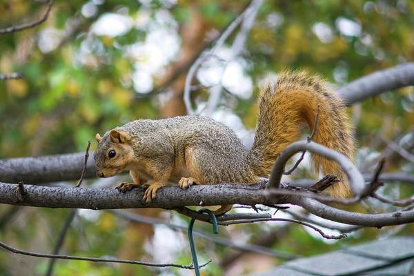 Photograph - Fine Fox Squirrel by Don Northup
