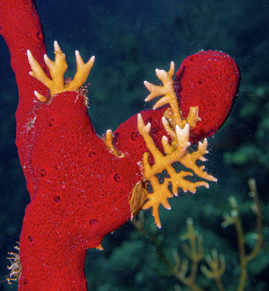 Photograph - Fire Coral On Red Sponge by Jean Noren