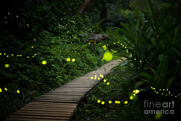 Wall Art - Photograph - Fireflies In The Bush At Night In Taiwan by Richie Chan
