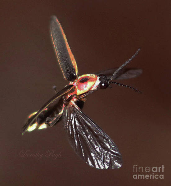 Photograph - Firefly In Flight by Dorothy Pugh
