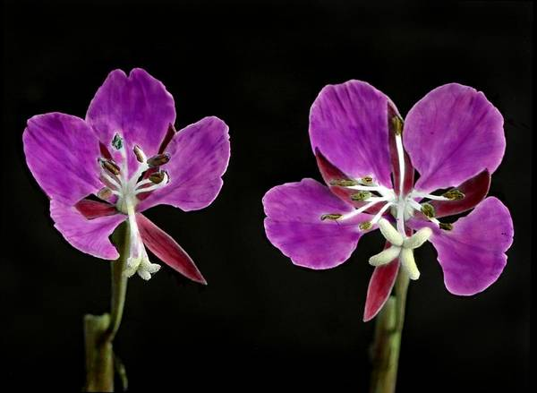Wall Art - Painting - Fireweed Blossoms In Middle Stage Of Bloom by Celestial Images