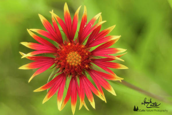 Photograph - Firewheel by David Cutts