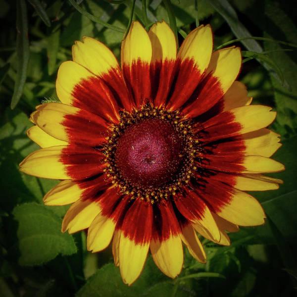 Photograph - Firewheel by Lora J Wilson