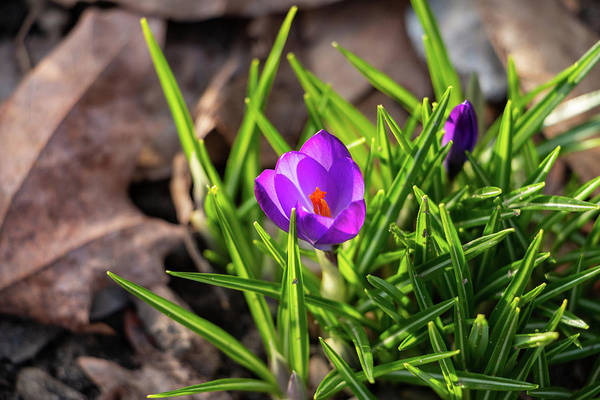 Photograph - First Crocus Of 2019 by Jeff Severson