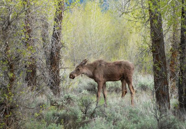 Photograph - First Moose by Matt Shiffler