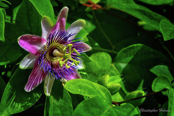 Photograph - First Purpel Passion Bloom Of The Year by Christopher Holmes