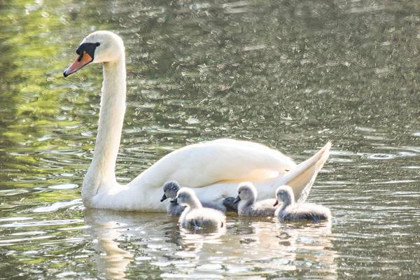 Wall Art - Photograph - First Swim - Mute Swan And Cygnets by Mary Ann Artz