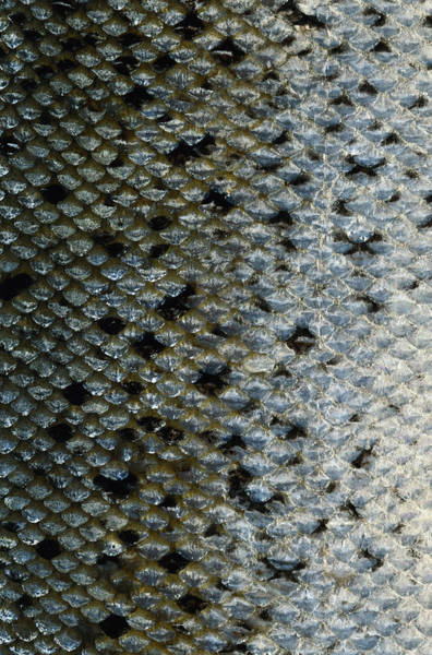 Scale Photograph - Fish Scales by Siede Preis
