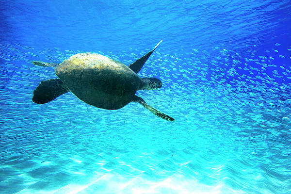 Turtle Photograph - Fish Swoop by Sean Davey