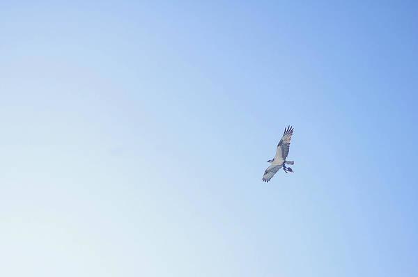Quintana Roo Photograph - Fisher Eagle In Flight by Fabian Jurado's Photography.