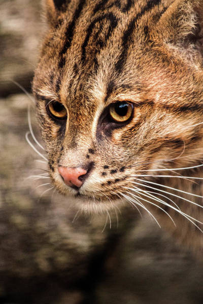 Photograph - Fishing Cat Close-up by Don Johnson