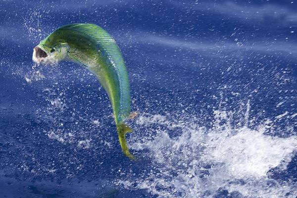 Sport Fishing Photograph - Fishing In The Florida Keys - Dolphin by Ronald C. Modra/sports Imagery