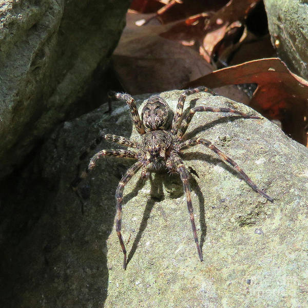 Photograph - Fishing Spider by Amy E Fraser