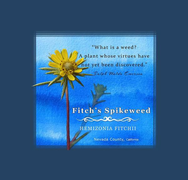 Digital Art - Fitch's Spikeweed by Lisa Redfern