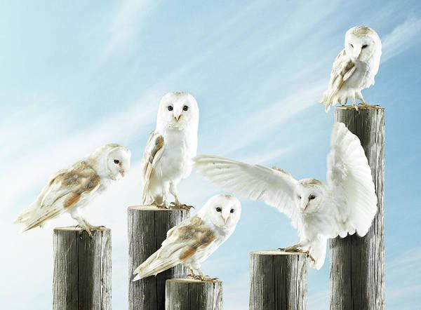 Barn Photograph - Five Barn Owls On Separate Logs by Michael Blann