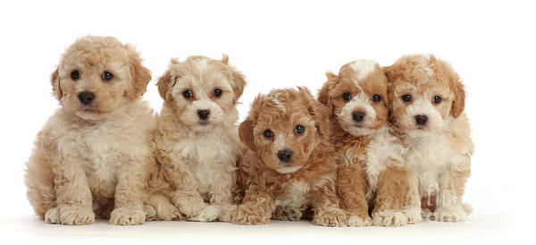 Photograph - Five Cavapoochon Puppies by Warren Photographic