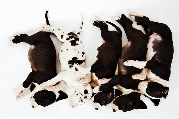 Great Dane Photograph - Five Harlequin Great Dane Puppies by Martin Harvey