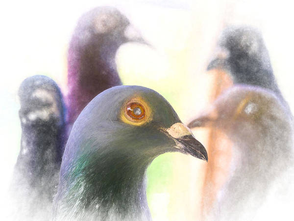 Photograph - Five Homing Pigeons Chalk by Don Northup